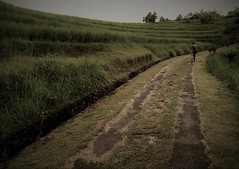 the long walk home (SM Tham) Tags: asia southeastasia indonesia bali island jatiluwih riceterraces unescoworldheritagesite landscape path track curves perspective outdoors