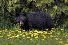 Caution birders! Bears in area (shimmeringenergy) Tags: blackbear oursnoir dandelion yummy cypressmountain westvancouver britishcolumbia bear ursusamericanus