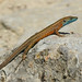 Greek rock lizard