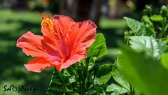 Flower (SarojPadhy) Tags: flower flowerwatcher hibiscus