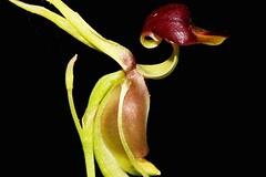 Caleana major (andreas lambrianides) Tags: caleanamajor orchidaceae largeduckorchid australianflora australiannativeplants australiannativeorchids terrestrialorchids