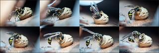 Building a pot - Eumenes pedunculatus female in action 8x