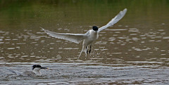 Sandwich Terns bathing. (E P Rogers) Tags: birds water terns bathing breeding migrants wings feathers anglesey northwales reserve wildlife