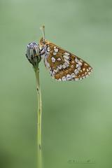 Euphydryas aurinia (jojesari) Tags: euphydryasaurinia ar117g mariposa butterfly volvoreta macro