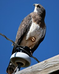 """Hey pal, you certainly are strange looking!"" (Parowan496) Tags: bird hawk telephonepole spring sitting staring sittingononefoot birdonawire bluesky cloudless"