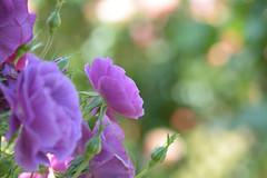 Magenta Sky Rose DSC_8420 (Kaz@pdx_nrt) Tags: rose keiseirosegarden chiba japan purple magenta 京成バラ園 バラ tamron90mmf28spafdimacro11272eniilens