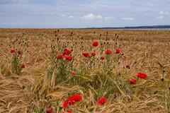 Mohn im Kornfeld (malp007) Tags: blume mohn gelb red ror yellow feld field landscape agrar summer pflanzen nature denmark