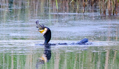 Cormorant with tench (badger2028) Tags: cormorant fish swallowing phalacrocorax carbo