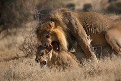 Kgalagardi lions (crafty1tutu (Ann)) Tags: travel holiday 2016 southafrica kgalagaditransfrontierpark africa african animal lion blackmanedlion mating wild inthewild free roamingfree crafty1tutu canon5dmkiii ef100400mmf4556lisiiusm anncameron naturethroughthelens naturescarousel coth coth5