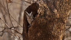 0417 Indien-Zwergohreule - Indian Scops-Owl (uwizisk) Tags: india indien indianscopsowl indienzwergohreuleotusbakkamoena otusbakkamoenagangeticus ranthambhorenationalpark