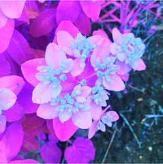 #mysteryflower #mysteryplant #flower #flowers #floweringtrees  #spring #psychedelic #psychedeliccolours #surreal #trippy #art #artistic #artsy #beautiful #simple (muchlove2016) Tags: mysteryflower mysteryplant flower flowers floweringtrees spring psychedelic psychedeliccolours surreal trippy art artistic artsy beautiful simple