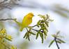 _53F7092 Yellow Warbler (~ Michaela Sagatova ~) Tags: birdphotography canonphotography michaelasagatova warbler yellowwarbler