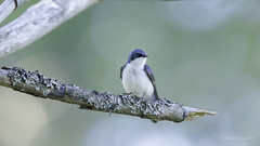Tree Swallow (Chantal Jacques Photography) Tags: treeswallow bokeh depthoffield wildandfree