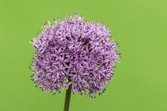 Allium (Charliebubbles) Tags: canoneos60d tamron18270mm photoshopcc 2017 allium closeup nature stilllife flowers