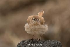 _H2A9694.jpg (AMPMartins) Tags: aves avesportugal solitário