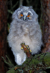 Long-eared owl (Asio otus) (wildlife_photo) Tags: asio otus long eared owl chick bird canon cannock staffordshire uk 7d 7dii eos wild wildlife natuer bbc country file night flash flickr facebook