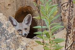 Young red (Palestinian) fox (Dave 5533) Tags: animal vulpesvulpespalaestina fox mammals outdoor wild nature canoneos1dx sigma150600mmf563dgoshsm wildlife naturephotography palestinianfox inexplore nopeople ngc npc