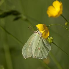 L'ivresse ** (Titole) Tags: boutondor citron papillon butterfly squareformat titole nicolefaton buttercup yellow commonbrimstone zitronenfalter thechallengefactory