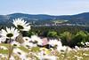 Mein liebes Heimatdörfchen... (Mariandl48) Tags: meinliebesheimatdörfchen wenigzell steiermark austria margeriten blumenwiese margeritenwiese bauernhof landschaft blumen
