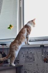 Cat's curiosity (Luniul) Tags: cat redcat animal
