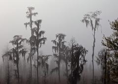 Cypress Trees in Fog (klauslang99) Tags: klauslang nature naturalworld northamerica florida cypress trees fog morning swamp hillsborough river