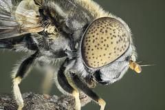 Eristalinus aeneus, F Syrphidae (dorolpi) Tags: