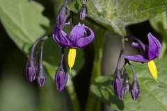 Naturally Poisonous - Deadly Nightshade (brucetopher) Tags: deadly nightshade deadlynightshade purple flower wildflower wild wilderness dangerous poisonous macro light shadow leaves leaf pretty beautiful colorful bell arrow macromondays poison