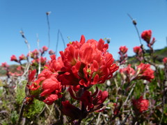 Indian paintbrush (Jef Poskanzer) Tags: indianpaintbrush fortfunston geotagged geo:lat=3771402 geo:lon=12250057 t