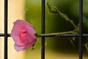Graceful... (Maria Godfrida) Tags: fence fences fencesfriday green pink rose flower flora nature natural pretty beautiful graceful bud flowerbud closeup plant ironfence 7dwf
