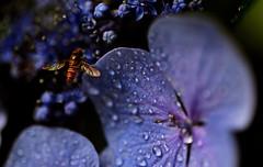 flower 1004 / insect (kaifudo) Tags: sapporo hokkaido japan maruyamapark flower hydrangea 札幌 北海道 円山 円山公園 アジサイ 紫陽花 nikon d750 sigmaapomacro150mmf28 sigma 150mm macro raordinaria extraordinaria