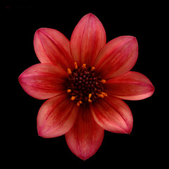 Red Dahlia (Funchye) Tags: blomst nikon d610 105mm