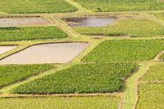 Taro fields in Hanalei Valley (_quintin_) Tags: hanalei kauai hawaii taro field green