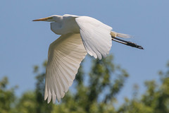 Great Egret in Flight 6-11-2017-10 (Scott Alan McClurg) Tags: aalba ardea ardeidae flickr animal back backyard bird blue bluesky flap flapping flight fly flying greategret land landing life nature naturephotography neighborhood portrait suburban summer urban white wild wildlife
