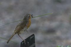 Petirrojo (seguicollar) Tags: pájaro robin petirrojo bird jardínbotánicomadrid virginiaseguí nikond7200 plumas pico gusano bokeh