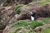 JL1A9223.jpg (Graham Racher) Tags: atlanticpuffin fraterculaarctica shetlandislands sumburgh sumburghhead puffin