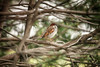Whistle While You Work (flashfix) Tags: may252017 2017inphotos ottawa ontario canada canon canoneos5dmarkii 5dmarkii bokeh nature mothernature 100mm400mm sparrow passeridae bird tree portrait birdphotography animal housesparrow flashfix flashfixphotography