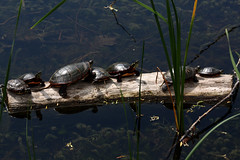 annual general meeting (fishwasher) Tags: humber college arboretum etobicoke toronto turtle may 2017 pond