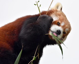 Red Panda study.