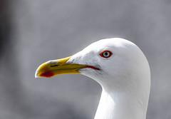 Seagull (bonfa23) Tags: seagull stupendo bird like animal love nature natura nikon tamron bw black red white yellow brunoooo photo photography nikond7000 nikonphoto flickr