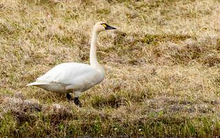 Tundra Swan (Cygnus columbianus) - Nome, AK