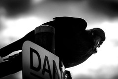 the solitude of crows  #3932 (lynnb's snaps) Tags: 2011 550d longreef beach birds crows digital nature sydney blackandwhite bw bianconero bianconegro blackwhite noiretblanc noir evil intelligent watching canon550d canonef70200mmf4lis