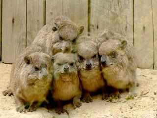 Daman des rochers / Rock hyrax