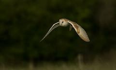 Barn Owl (hharry884) Tags: barn owl outdoors birds bird wildlife wiltshire nature photography flight night