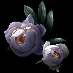 Peony Duo (Pixel Fusion) Tags: peony flower flora nature macro nikon d610