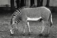 Grevy's Zebra (Pejasar) Tags: normanpublicschools 2017 fieldtrip may riversclass oklahomacityzoo zebra grevyszebra largestzebra male art artistic bw blackandwhite
