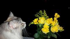 Für Dich Katzen Papa (eagle1effi) Tags: vatertag väteraufbruch väter papa dad dadsday gelb yellow roses s5 samsung galaxy blumenstrauss bouquet iso80 f22