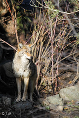 Coyote (C.J.W Photography) Tags: wild contrast pretty country nature trees landscape landscapephotography discover canon cjwphotography photography travel travelphotography explore adventure park forest outdoor light sky coyote canada wildlife kamloops