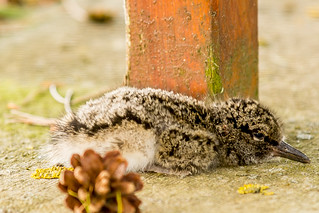 Oyster Catcher Chick