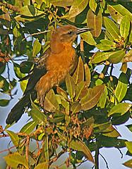 My Guess is some type of Oriole, Florida Everglades (gg1electrice60) Tags: keywest keywestextension floridakeys florida fl fecrsconvention fecrs floridaeastcoastrailwaysociety floridaeastcoastrailway fecrailway fec fecrwy aftertheconvention duringmydrivehome alligatoralley interstate75 i75 birds herons oriole blackcrestednightheron everglades evergladesfrancisstaylorwilflifemanagementarea francistaaylor southfloridawatermanagementdistrict miccosukeetribeofflorida miccosukeeindianreservation conservationarea floridafishandwildlifeconservationcommission conservationarea3anorth i75northbound browardcounty thisisyourlocation milemarker352 mm352 wildlife animals nature