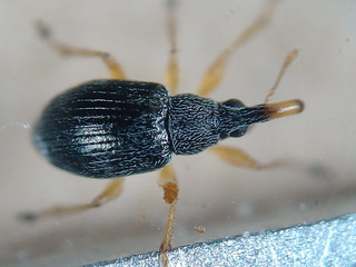 Weevil - Pseudapion rufirostre
